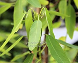 Seeds Codariocalyx motorius Dancing Plant Leaves Move! Great Container Plant 5 Seeds with Tracking