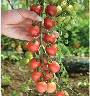 Hybrid Sun Peach Tomato 25 Seeds by BasqueStore