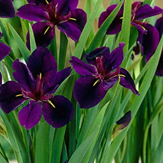 Iris Black Gamecock Louisiana IRIS Deep Purple, Almost Black Blooms! 1 Rhizome!
