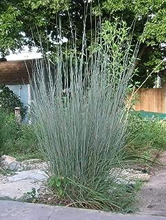 1000 Seeds Schizachyrium scoparium Little Bluestem Bunchgrass