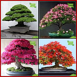 Creative Farmer Air Purifying Plants Combo Bonsai Suitable Tree : Japanese Pine, Pink Siris, Azalea, Gulmohar Bonsai Suitable Tree Kitchen Garden Pack