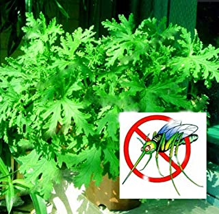 100 Pcs/Bag Mosquito Repelling Grass Seeds Mosquito Killer Sweetgrass Flores Seeds Garden and Home Hurb Plant Easy Planting