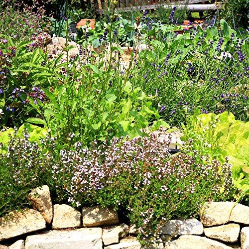 Jardin d'herbes pendant de nombreuses années - Mélange d'herbes -