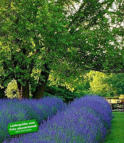 BALDUR-Garten Lavendel 'Phenomenal®' Duftlavendel echter Lavendel, 3 Pflanzen Lavandula