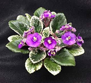 Grape Treat Miniature African Violet, Blooming Plant Shipped in 2