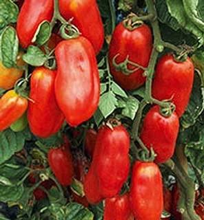 San Marzano Redorta Tomato Seeds - heirloom variety from Tuscany, Italy. !!!(100 - Seeds)
