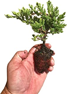 Juniper Procumbens Nana Qty 30 Live Plants Groundcover