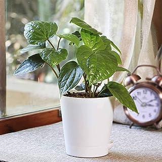 Ugaoo Betel Leaf Magai Paan Plant with Self Watering Pot