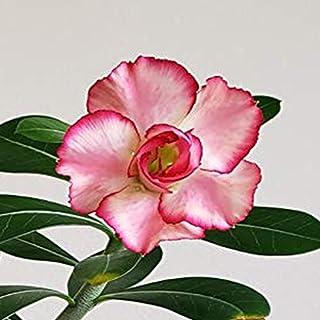 Desert Rose Rare Adenium Obesum Double Flower New Hybrids Not Just Seeds.