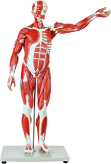 Axis Scientific Human Muscle Model | 27-Part Half Life-Size Muscular Figure Includes Organs and Features Detailed Muscle Anatomy | Includes Detailed Full Color Product Manual | 3 Year Warranty