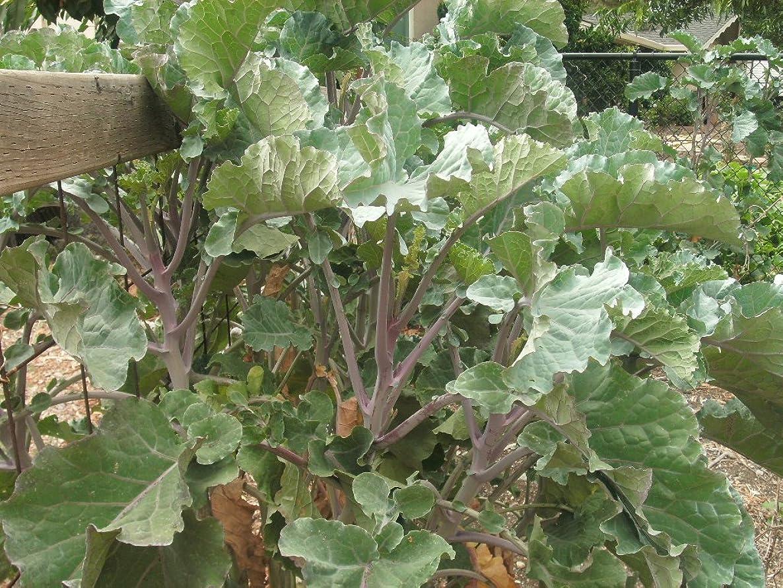 3 Cuttings of Perennial Purple Tree Collard