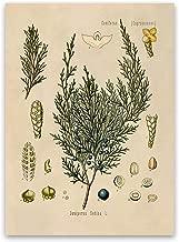 Savin Juniper Plant Print - Old Botanical Illustration Poster