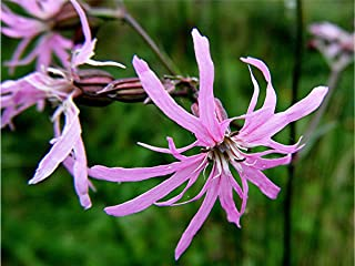 Silene flos-cuculi-Ragged Robin-Pink flowers-20 Fresh Seeds