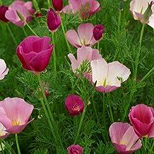 Outsidepride Poppy California Purple Gleam - 5000 Seeds