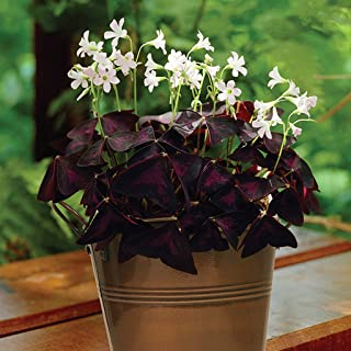 clover plant sales