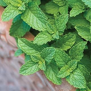 spearmint plants for sale