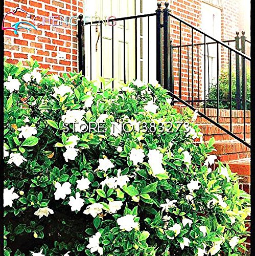 50 Pcs A Bag Gardenia Graines Sementes De Flores Jardinagem Em Casa Plantes Seed Hot Garden Outdoor Supplies raboter Bonsai Ampoules
