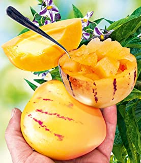 Lekofo Seed House - 100 Pieces Rare Melon Pear Seeds Mini Pepino Fruits Fruit & Vegetable Seeds House Bonsai Plant for Garden Balcony/Patio