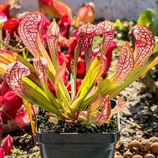 Carvivorous Pitcher Live Sarracenia Garden Scarlet Belle Best Gift Outdoor Plant MX01