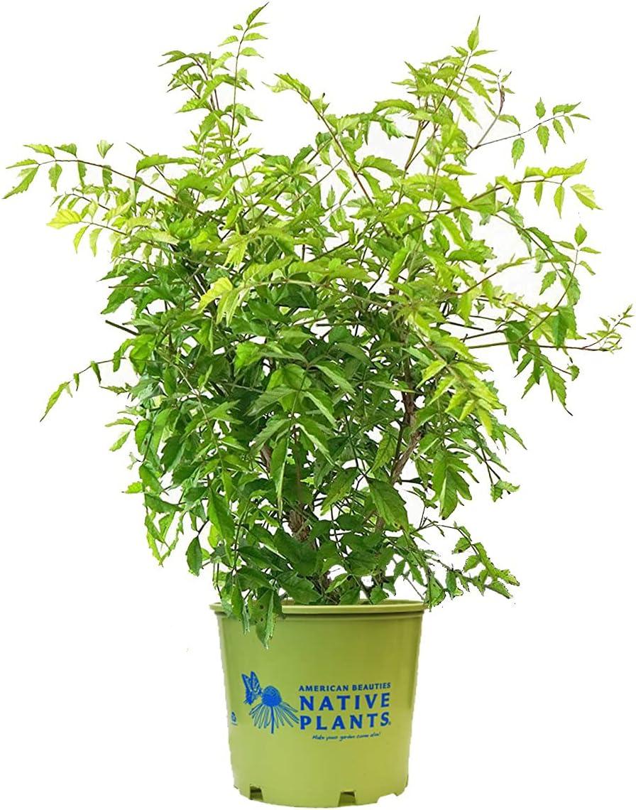 American Boston Mall Beauties Native Max 64% OFF Plants - Trumpet radicans Vine Campsis
