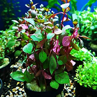 Mainam Ludwigia Repens Super Red Potted Mini Freshwater Live Aquarium Plants Tropical Decorations