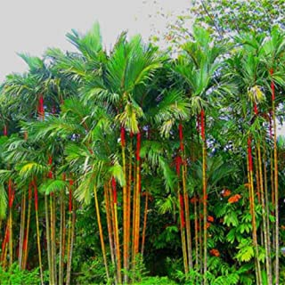 Exotique Palmiers Graines Rare semences rares jardin balcon plante roi-Palme