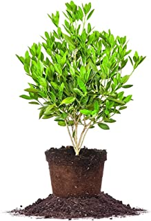 Best anise plant for sale Reviews