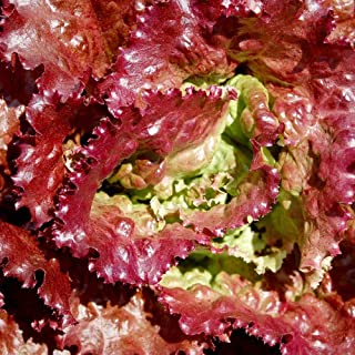 3000 Pcs Prizehead Lettuce Loose Leaf Early Prize Head Red Lactuca Vegetable Seeds #SSNH