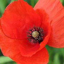 American Legion Corn Poppy Flower Garden Seeds - 1 Oz - Also Called Flanders Poppy - Wildflower - Papaver rhoeas
