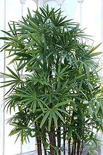 10 Windmill Palm Shrub Broadleaf Lady Rhapis Excelsa Tree Seeds Houseplant #SFB