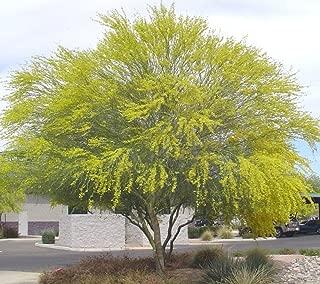 25 SEEDS Blue Palo Verde Tree Parkinsonia florida Green Trunk Bark Yellow Flower