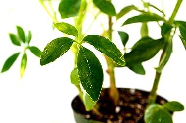 "Schefflera Green Hedge Shrub - 4"" Pot"
