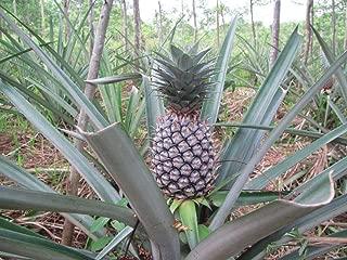 1 Starter Plant of Pineapple Plant Gold Hybrid Fruit Ananas Comosus, Bromeliaceae