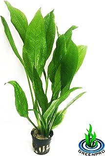 Greenpro Echinodorus Bleheri | Amazon Sword Paniculatus Potted Live Aquarium Plants for Aquatic Freshwater Fish Tank