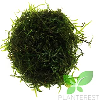 Planterest - Java Moss | Vesicularia Dubyana Freshwater Live Aquarium Plant BUY2GET1FREE