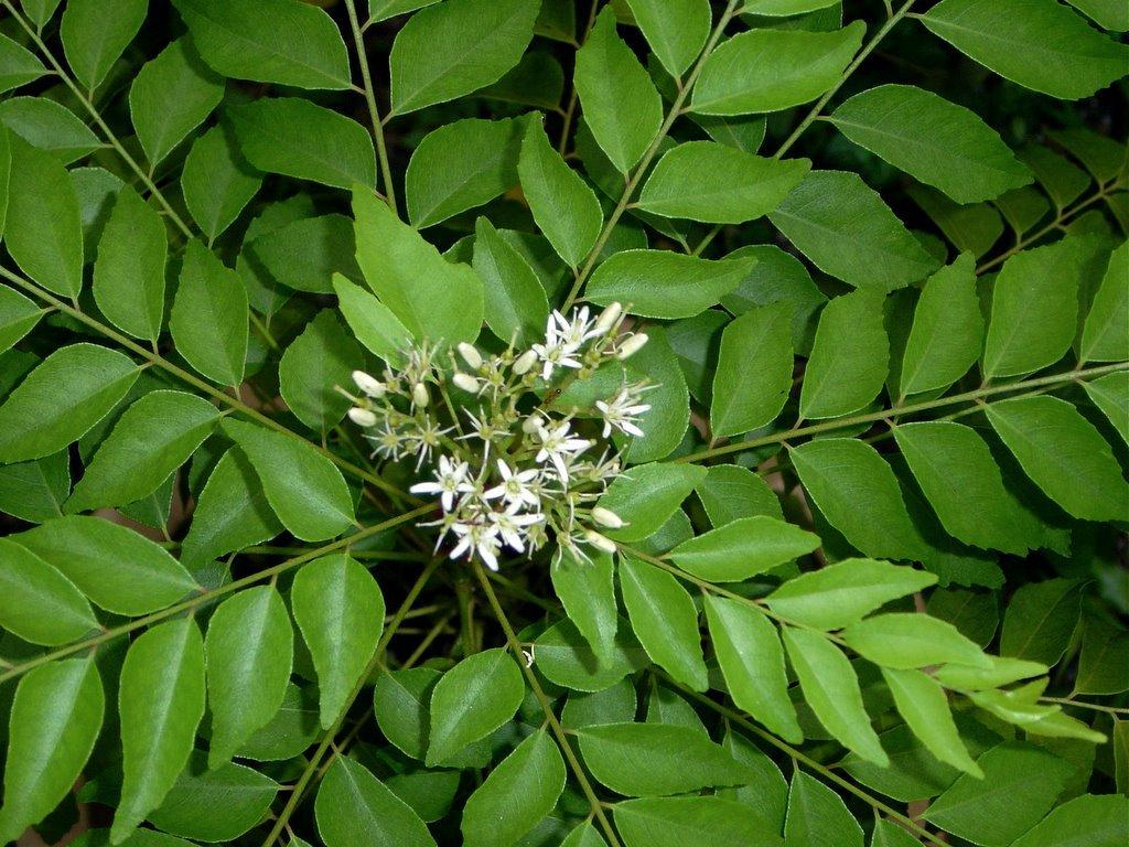 M Tech Gardens Rare Curry Leaf Plant Murraya Koenigii Plant Amazon In Garden Outdoors