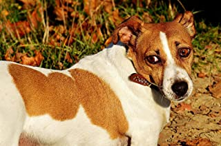 Gifts Delight Laminated 36x24 inches Poster: Jack Russell Terrier Dog Animal Pet Snout Cute Sweet Dear