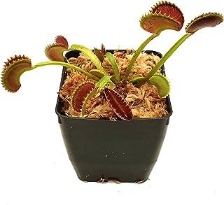 """Venus Flytrap 'Dente' Carnivorous Plant, Dionaea muscipula, Live Arrival, Adult Plant, 3"""" Pot - Predatory Plants"""