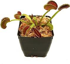 Venus Flytrap 'Dente' Carnivorous Plant, Dionaea muscipula, Live Arrival, Adult Plant, 3