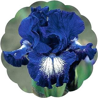 Stargazer Perennials Starwoman Iris Bulb   1 Rhizome - Blue Black Flowers with White   Easy to Grow Perennial Iris for Fall Planting