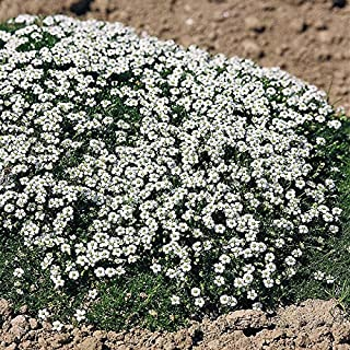 Outsidepride Pelleted Irish Moss Ground Cover Plant Seed - 5000 Seeds