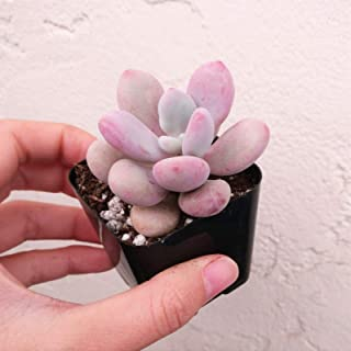 1 Moonstones Succulent Pink Pachyphytum Oviferum (2 inch) Live Plant