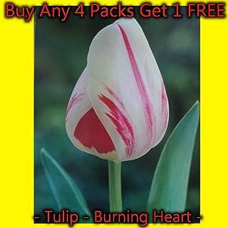 Portal Cool 20: Burning Heart Darwin bulbos del tulipán blanco y rojo tulipanes Envase de 1 20 50 100 250
