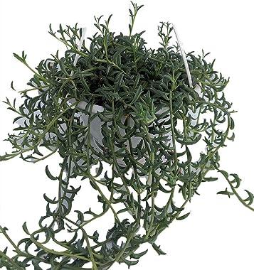 "Rare - String of Dolphins Succulent - Senecio peregrinus - 6"" Hanging Basket"