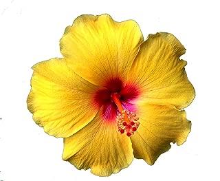 Emeralds TM Tropical Hibiscus Plant Large Golden Yellow Red Throat Single Flower Sanibel 4