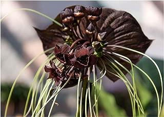 Best bat plant for sale Reviews