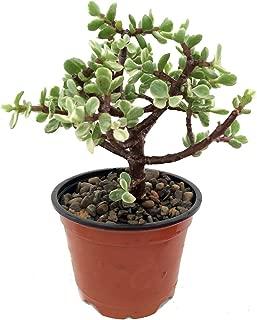 Creme & Green Mini Jade Plant - Portulacaria afra - 4