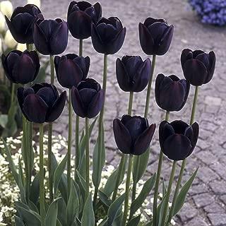 Van Zyverden Tulips Queen Of Night Set of 12 Bulbs