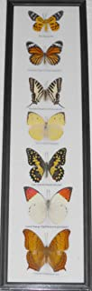 GABUR Butterly Vertical 7 Real Butterfly Wall Decor Hanging Collection Taxidermy in Frame, 20.87 x 5.9 x 0.78 Inches, Black