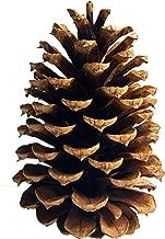 20 PineCones 3